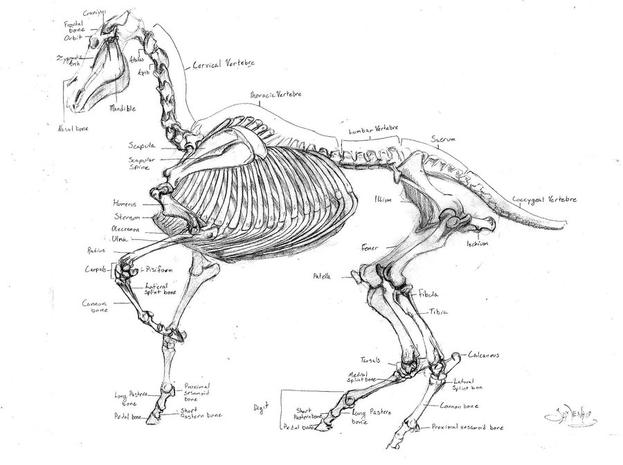 horse_skeleton_by_greeneyed_gal-d4v1r0x